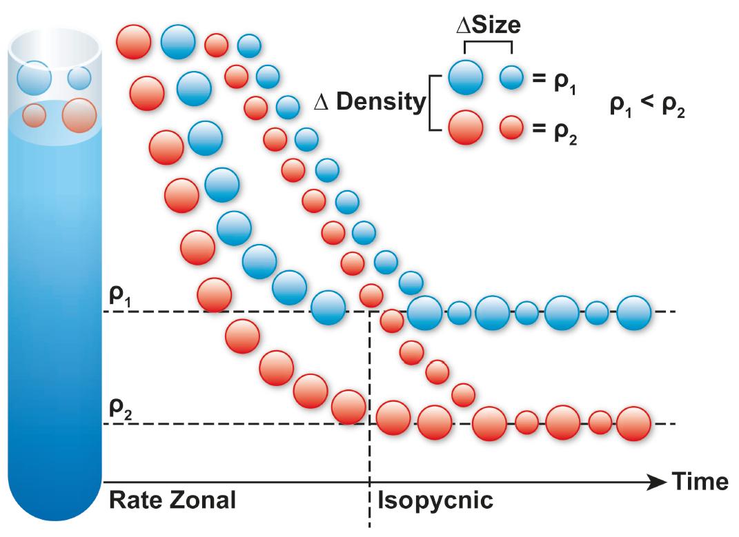 Ultracentrifugación de gradiente de densidad (DGUC)