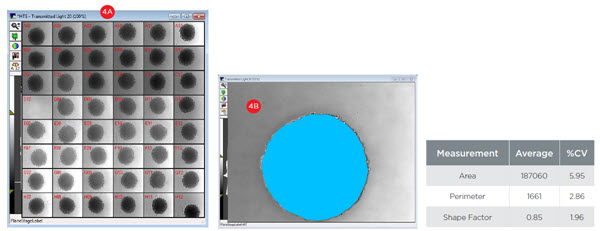 Figure 4. Spheroid Consistency. A) 48 wells of day three spheroids were imaged at 10X magnification with transmitted light. B) Spheroids were analyzed for size (area and perimeter) and circularity (shape factor). Across 47 images, the consistency of spheres is illustrated by coefficients of variation (CVs) below 6%. An average shape factor of 0.85 indicates the spheroids show excellent circularity as a perfect circle has a shape factor of 1.0.