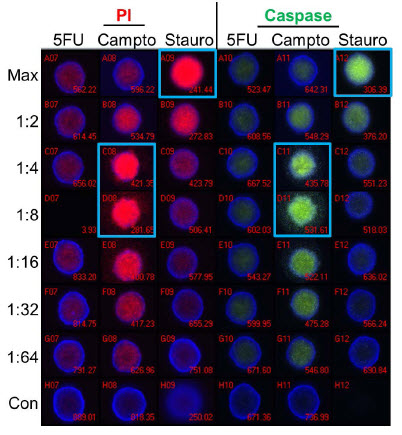 Figure 5. Apoptosis Analysis - Imaging. Spheroids were treated with 5-fluorouracil (5FU), camptothecin (Campto), and staurosporine (Stauro) at the indicated dilutions for 24 hours and stained for apoptosis markers for analysis by imaging. Control spheroids (Con) were treated with DMSO alone. Wells with maximal staining by propidium iodide (PI) or activated caspase substrate are identified by blue boxes. Staurosporine shows a traditional dose response while the highest level of staining was seen at the 1:4-1:8 dilutions of camptothecin. 5-fluorouracil treatment resulted in no significant staining of spheroids.