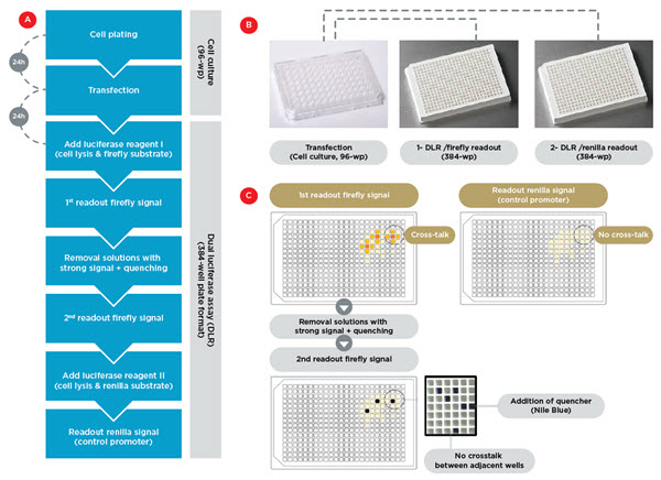 Figure 2. Assay workflow. A) Workflow for automated transfection in 96-wellplate format, followed by DLR assay in 384-well plate format. B) The transfection, lysis and cell detachement occurs in four cell culture 96-wellplates, followed by their splitting into two 384-well plates for separate readout of the firefly and renilla signals. C) Experimental strategy to eliminate crosstalk artifacts. Separating firefly and renilla readouts avoids crosstalk between the firefly and renilla luminescence light (the two upper panels). A second readout of the firefly signal after removal of the solution in wells with very strong signal eliminates the crosstalk between adjacent wells.
