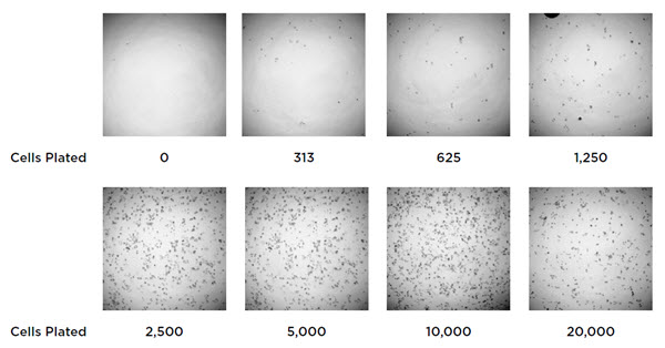 Figure 2. Images of HCT 116 cells following automated dilution and plating. A starting solution of 200,000 cells/mL was added to the Biomek NXP and serially diluted. 100 μL of cells were plated in triplicate and assayed by XTT addition after 24 hours.