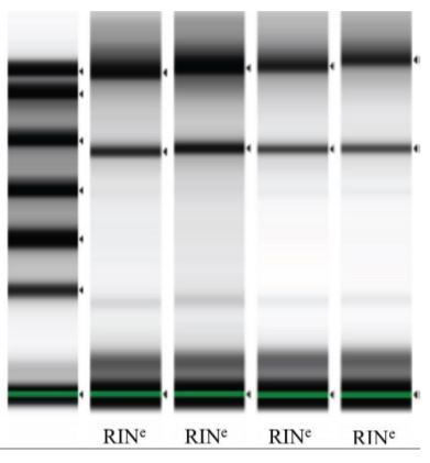 Figure 5. RNA samples were analyzed on Agilent TapeStation. Lane 1: ladder, lanes 2-3: automated protocol; lanes 4-5: manual protocol