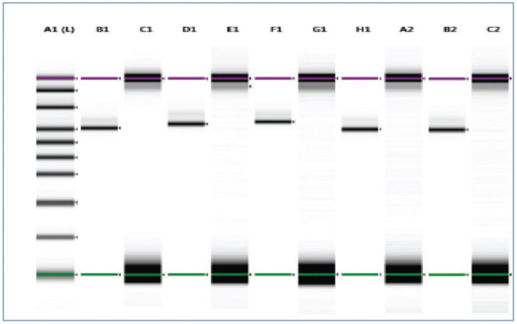 Figure 7. Samples were analyzed on Agilent TapeStation using HS D1000 kit. The replicates behaved in a consistent manner and the alternate empty wells show no cross contamination. Recovery of the samples was approximately 95% and gel and trace show no impurity.