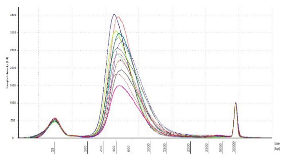 Figure 5. DNA strains analyzed on TapeStation 2200 with High Sensitivity DNA 5000 tape.