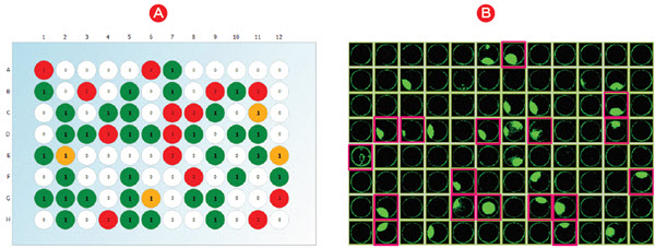 """Figure 1. Hit identification. A) Following limiting dilution, wells with a single cell were identified by imaging on a CloneSelect Imager (green/yellow). B) Cells were grown for three weeks and wells with colony growth were identified by imaging. Monoclonal wells with growth (""""primary hits"""") that were assayed for protein titer are indicated by pink squares."""