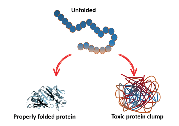 An unfolded polypeptide chain collapses into a properly folded three-dimensional protein structure. Conversely, if the key interactions are not formed, the unstable protein can aggregate and form toxic protein clumps