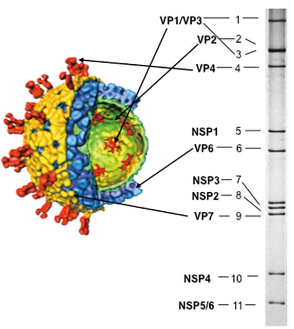 Fig. 1. Estructura de partículas y ARN del genoma del rotavirus