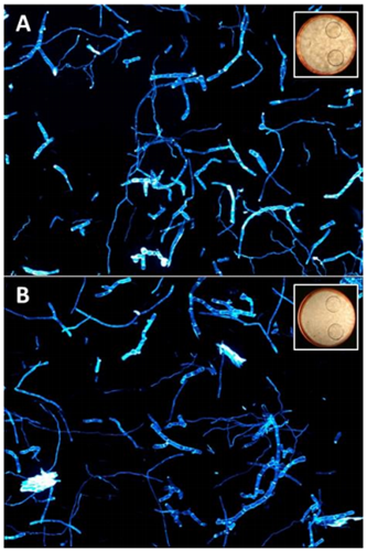 Figure 2: Comparison of micro and macro morphology of T. reesei RUT-C30 RFP1 cultures grown on 30 g/L cellulose in (A) 250 mL flasks or (B) a BioLector® a 48 RoundWellPlate.