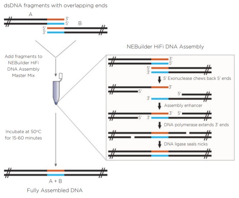 fig1 Nanoliter Scale DNA Assembly Utilizing the NEBuilder HiFi Cloning Kit with the Echo 525 Liquid Handler
