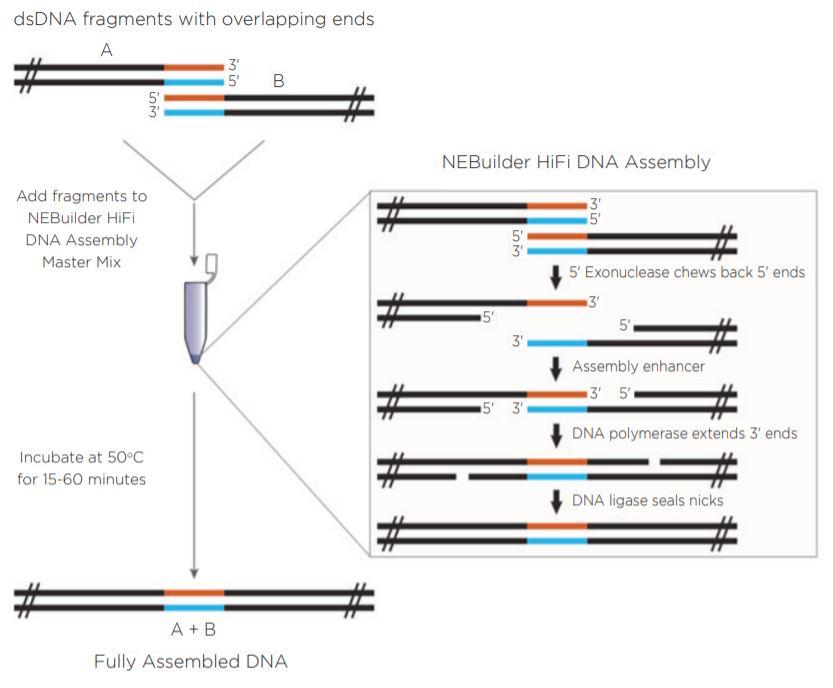 fig1 Nanoliter Scale DNA Assembly Utilizing the NEBuilder HiFi Cloning Kit with the Echo 525 Liquid Handler