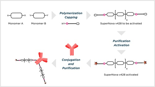 Schematic procedure for SuperNova v428 polymer synthesis, activation and conjugation process