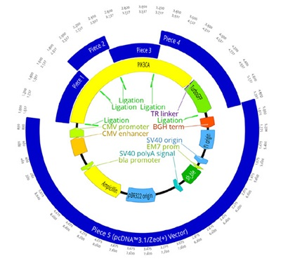 A. The complete plasmid construct to be assembled with the GFP-tagged PIK3CA being inserted into the pcDNA 3.1/Zeo (+) backbone. gBlock pieces as well as the linear vector are shown in blue, with their overlapping region shown by a light green annotation labeling them as a ligation site. The PIK3CA gene is in yellow with the linker (purple) and GFP tag (green) also annotated. Other important components of the plasmid machinery are labeled as necessary.