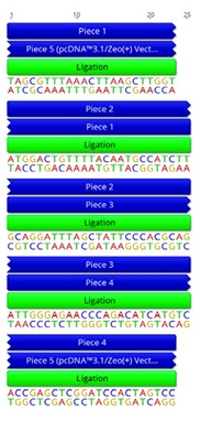 B. Nucleotide resolution of the overlap sites that have been used to allow assembly by NEBuilder.