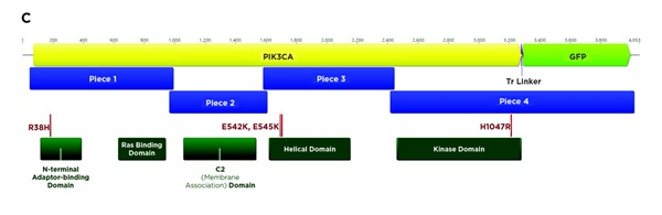 C. The locations of the PIK3CA functional domains (dark green) and the planned mutations (red) within the constructs. Each construct was planned as either the unmutated wild-type or with one of the four listed mutations (R38H, E542K, E545K, H1047R, or Wildtype).