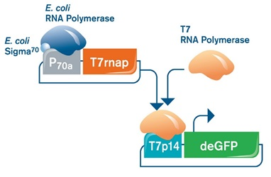 FIGURE 3: Gene expression systems used in this study. (A/Left) Gene expression on P70a vectors is entirely driven by the endogenous E. coli TXTL machinery present in the myTXTL Master Mix. (B/Right) In order to express genes downstream of the T7 promoter/operator system (T7p14-deGFP), myTXTL reactions need to be supplemented with T7 RNA polymerase. This can be done either by a helper plasmid encoding T7 RNA polymerase downstream of a sigma 70-specific promoter (P70a-T7rnap), or by addition of T7 RNA polymerase protein.