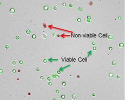 Viable cells are outlined in green and nonviable in red