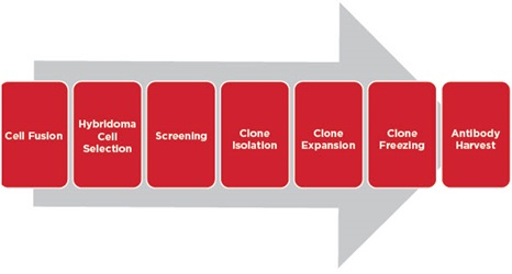 Typical Cell Line Development Workflow for Hybridoma