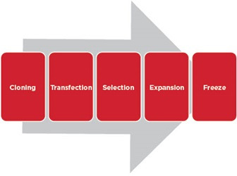 Typical Cloning Cell Line Development Workflow
