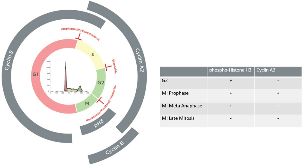 Cell cycle analysis by flow cytometry using DNA content and checkpoint markers