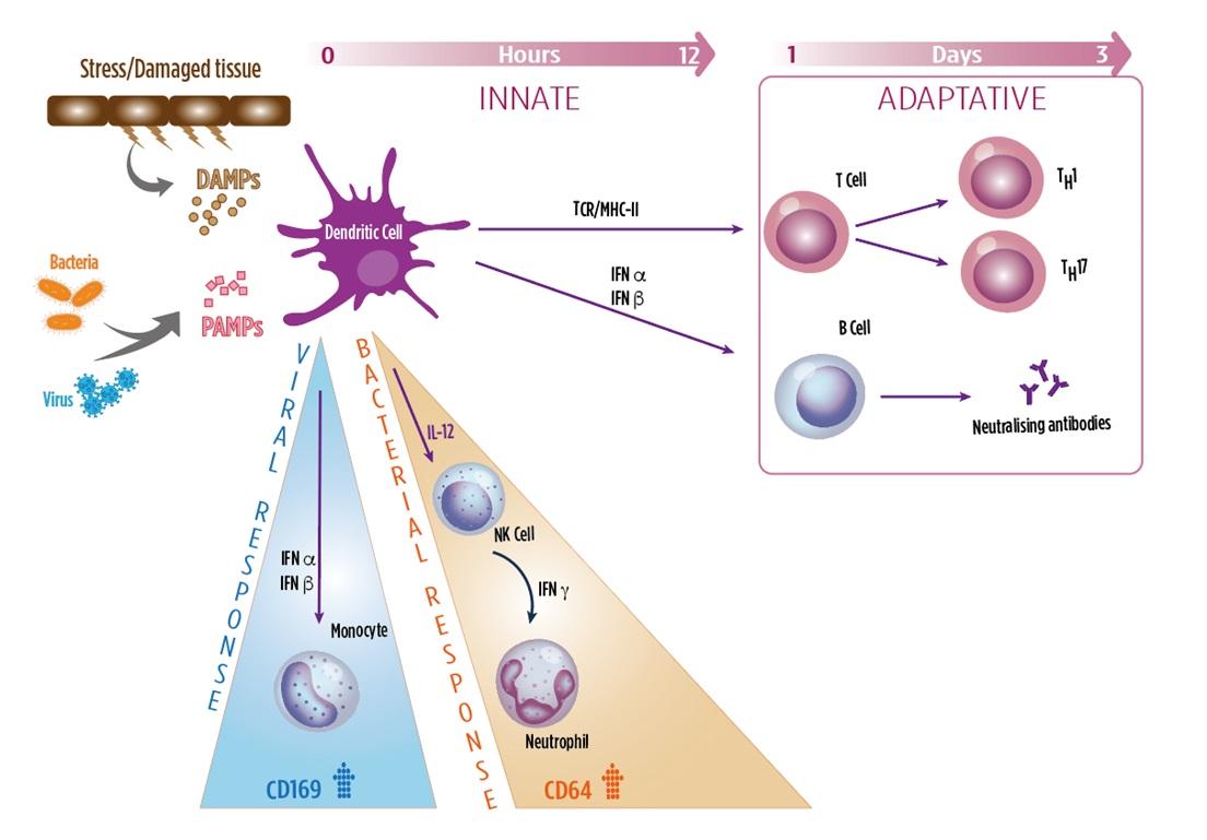 Diagram showing the innate versus the adaptive immune response