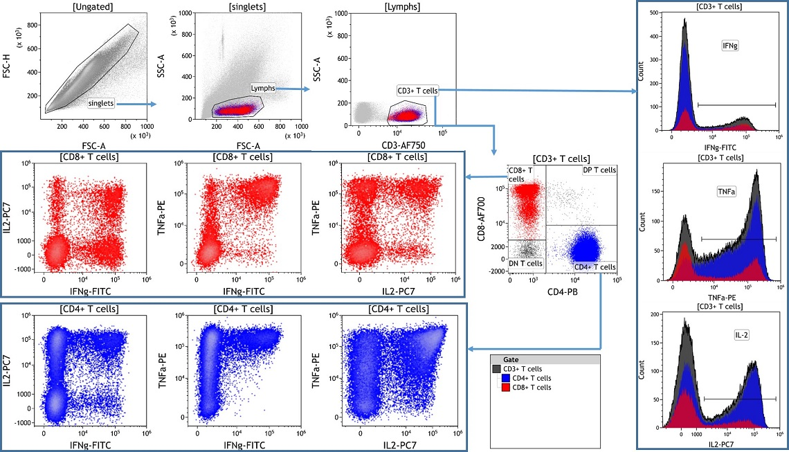 Analysis of activated T cells in human blood using DURAClone IF T Activation kit