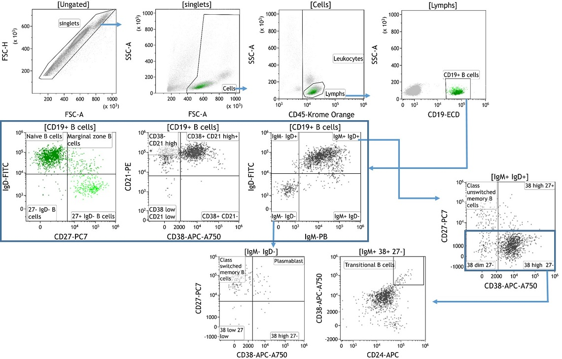 Identification of B Lymphocyte Subpopulations Present in Peripheral Blood Mononuclear Cells