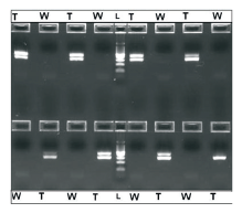 Figure 3. Electrophoretic separation on 2% agarose of amplified human genomic DNA (24 ng per 2 5μL reaction) using β-actin primer pairs and ready-to-use PCR master mix. 20 μL of the reaction volume was loaded onto the gel. The results show no presence of the β-actin amplicons (285bp) in any negative control containing no gDNA template (W), versus robust amplification in adjoining plate wells that contained the human gDNA template (T). The middle lane (L) is a 100bp DNA Ladder.