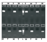 Figure 7. Cross-Contamination Results (25 μL/reaction): Human genomic DNA (24 ng/reaction), β-actin primer pairs and ready-to-use PCR master mix (Promega) were used for automated PCR cross-contamination tests. The test was conducted by amplifying gDNA template (T) and Water (W) in alternating wells. The absence of β-actin amplicons (285 bp) in negative wells indicates an absence of cross contamination. The middle lane is 100 bp DNA Ladder (L) (Promega).