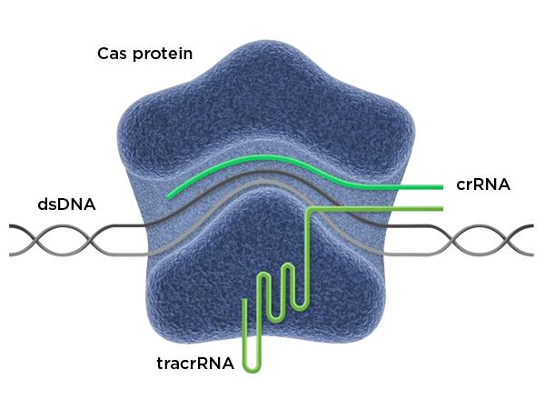 CRISPR für das Immuntherapie Cas Protein