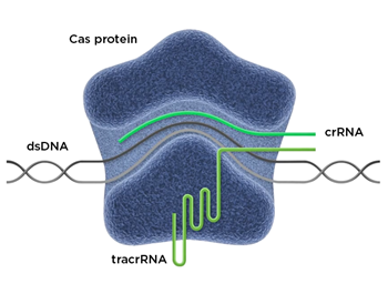 CRISPR for Immunotherapy Cas Protein