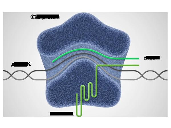 Иммунотерапия с помощью технологии CRISPR, белок Cas
