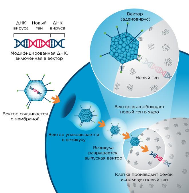 Получение лентивирусных векторов