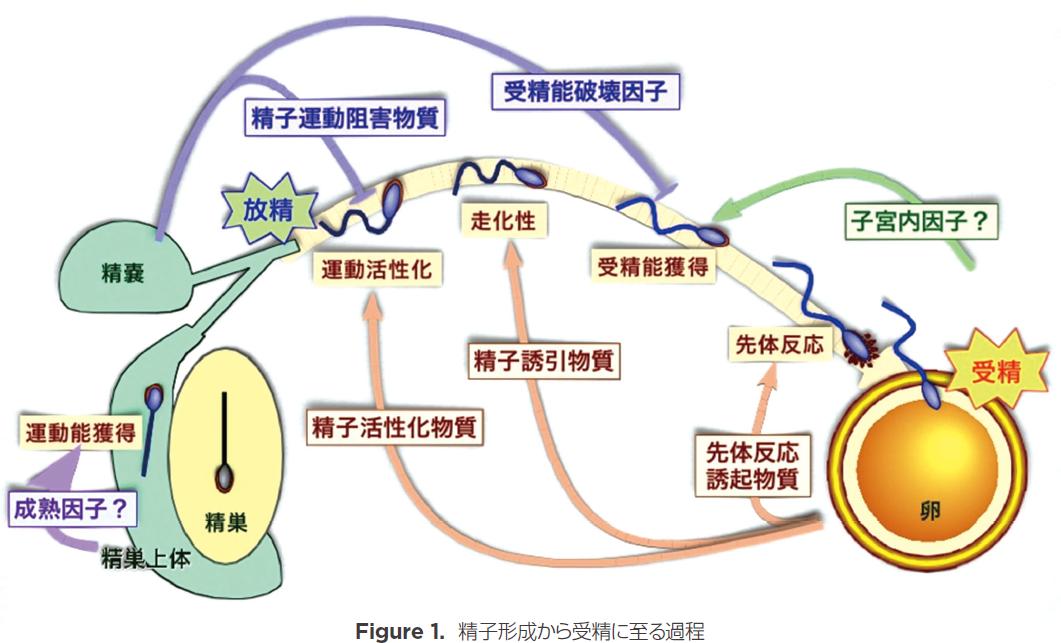 精子形成から受精に至る過程