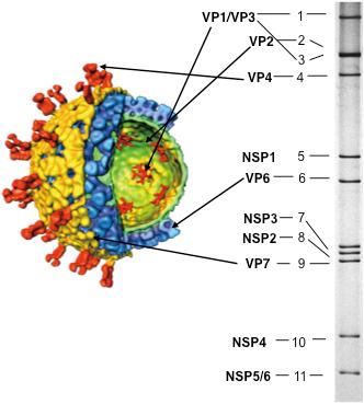 Cell - Virus Purification Fundamentals
