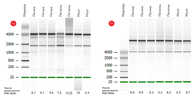 Образцы РНК мыши, полученные спомощью ручного(a) и автоматизированного(b) методов