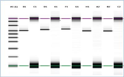 Образцы проанализировали Agilent TapeStation набором HS D1000. Повторы показывают согласованность процесса, а чередующиеся пустые лунки- отсутствие кросс контаминации. Выход образцов составил около 95 %, а изображение геля и следов свидетельствует об отсутствии примесей.