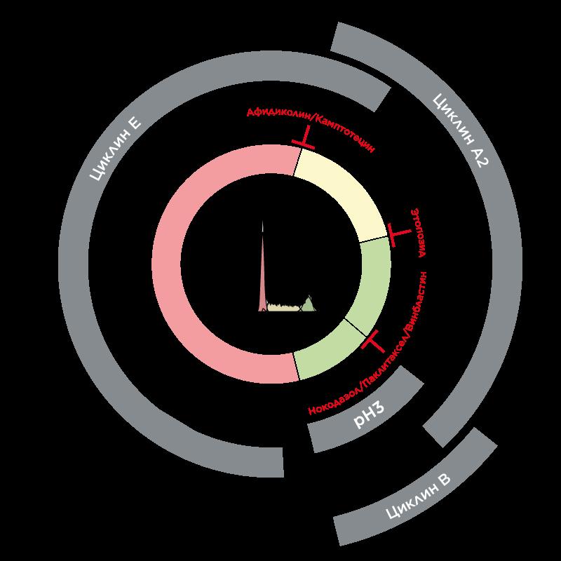 Экспрессия различных маркеров на разных стадиях клеточного цикла.